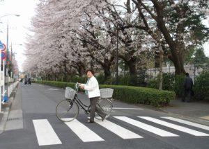 市内を自転車で移動。(桜がきれいな警察学校北通り)