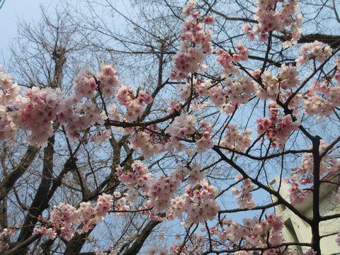 この日は団地の早咲きの桜が満開。